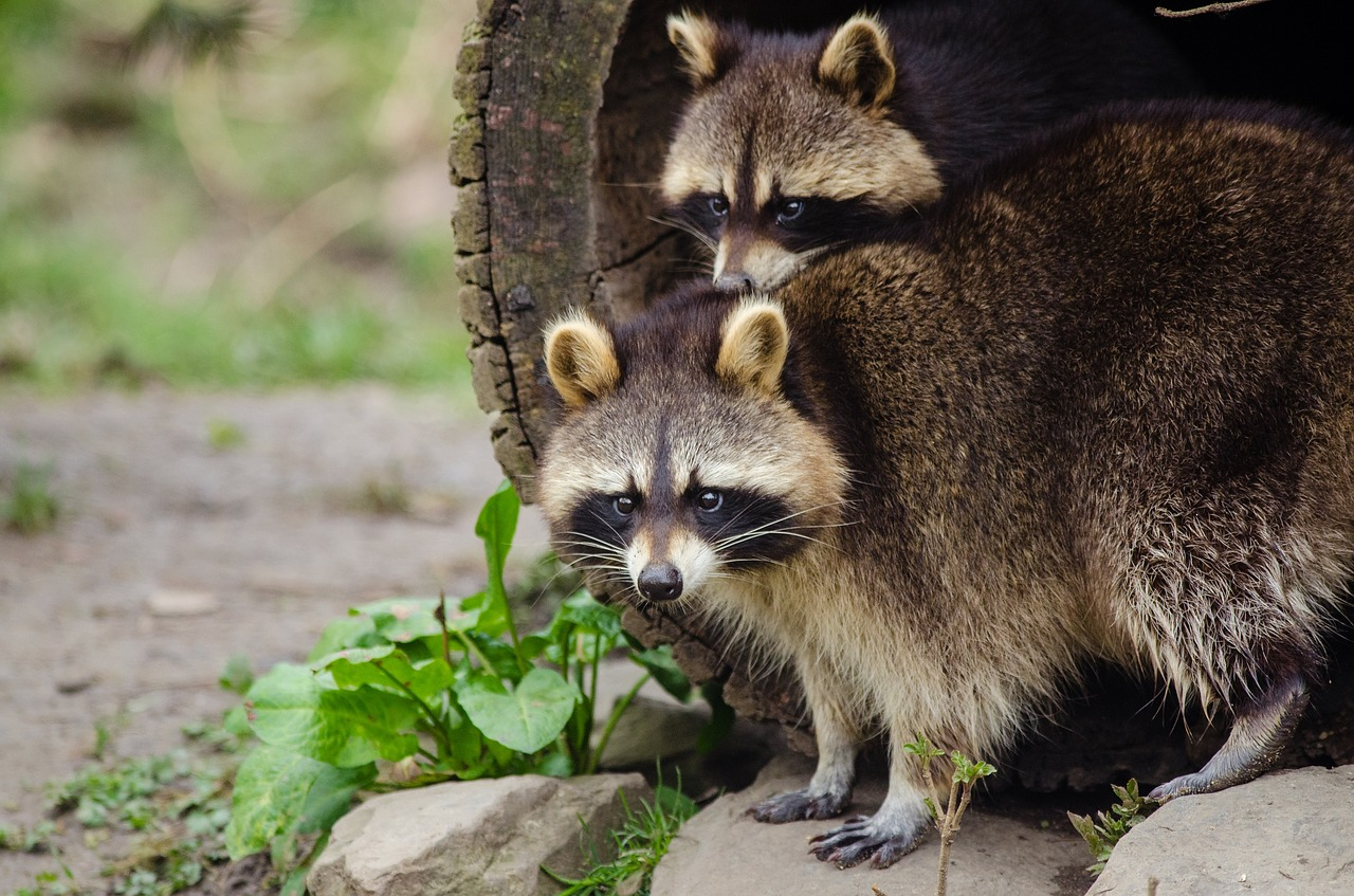 Raccoons Wildlife Control London Ontario